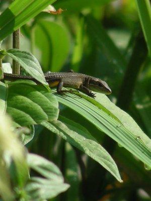 葉の上にカナヘビ