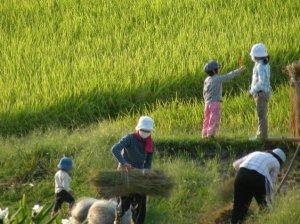 家族で稲刈り