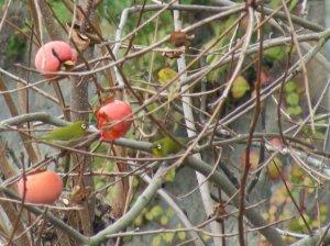 柿にメジロ