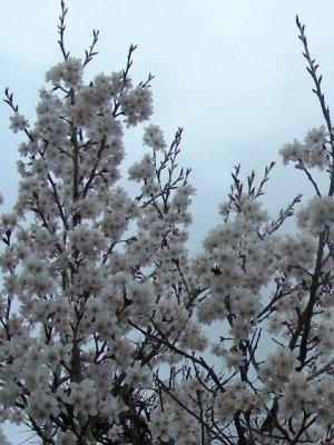 早咲きのサクラ